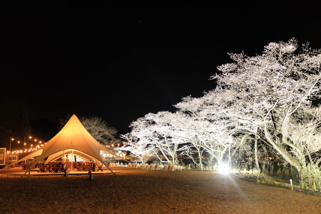 """Cherry blossoms of """"metsä village"""" have begun to bloom ~ Limited time light up ~ 1"""