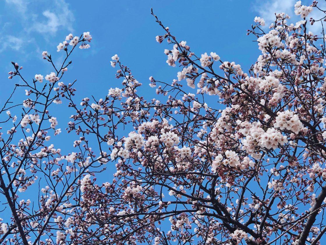 「メッツァビレッジ」の桜が咲き始めました ~ 期間限定ライトアップも ~ 3
